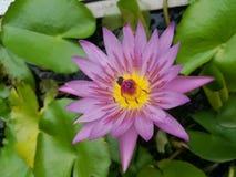 Цветки лотоса стоковые изображения
