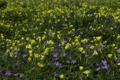 Цветки луга весны желтые и фиолетовые Стоковое Изображение RF