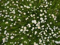 Цветки луга стоцвета Красивая сцена природы с зацветая chamomilles Стоковая Фотография