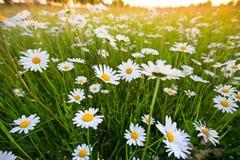 Цветки луга стоцвета Красивая сцена природы с зацветая chamomilles Стоковое Фото