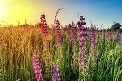 Цветки люпина с восходящим солнцем дальше против голубого неба Предпосылка лета стоковое изображение rf