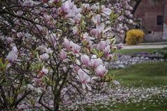 Цветки магнолии в дворе Стоковые Фотографии RF