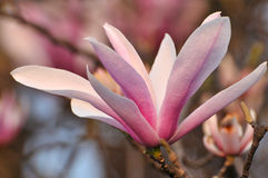 Цветки магнолии цветения розовые Стоковое Изображение