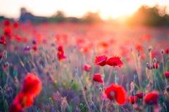 Цветки мака в заходе солнца, золотой предпосылке стоковое изображение rf