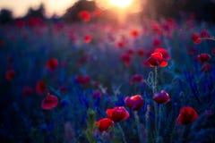 Цветки мака в заходе солнца, золотой предпосылке стоковая фотография rf