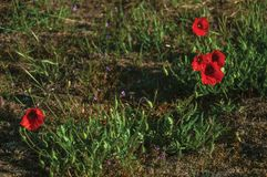Цветки мака в зеленом кусте стоковое фото rf
