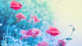 Цветки мака в мягком свете с bokeh и фильтрами, флористической весной или предпосылкой лета Длинное знамя ширины стоковая фотография rf