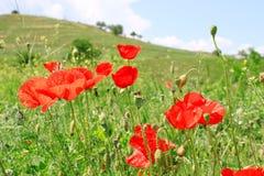 Цветки мака в поле Стоковые Фотографии RF