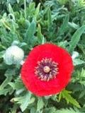 Цветки мака в поле Стоковая Фотография RF