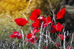 Цветки мака в расчистке стоковая фотография rf