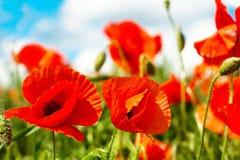 Цветки мака в солнечном дне Стоковое Изображение