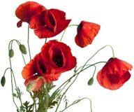 Цветки мака изолированные на белой предпосылке Стоковые Изображения RF