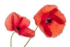 Цветки мака на белизне Стоковая Фотография