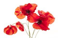 Цветки мака на белизне Стоковые Фотографии RF