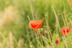 Цветки мака на запачканной предпосылке природы Стоковая Фотография