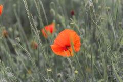 Цветки мака на запачканной предпосылке природы Стоковая Фотография RF