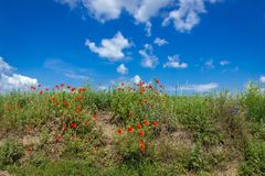 Цветки мака на поле Стоковая Фотография RF