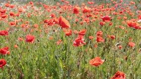 Цветки мака пошатывая в порыве ветра Поле маков сток-видео