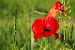 Цветки мака против зеленой предпосылки Стоковое Изображение RF