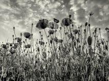 Цветки мака - черно-белые Стоковая Фотография RF