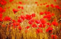 Цветки мака Стоковое Изображение RF