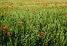 Цветки мака Стоковое фото RF