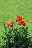 Цветки мака Стоковая Фотография