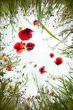 Цветки мака Стоковая Фотография RF