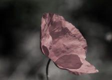 Цветки маков Стоковое Фото