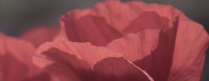 Цветки маков Стоковые Фотографии RF