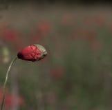 Цветки маков Стоковое Изображение RF