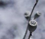 Цветки маков Стоковая Фотография