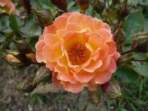 Цветки макроса в саде Стоковые Фото