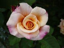 Цветки макроса в саде Стоковая Фотография RF