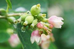 Цветки макроса зацветая белого и розового Symphoricarpos snobber стоковое изображение