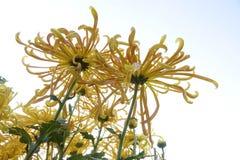 Цветки мамы Стоковые Изображения