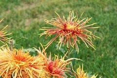 Цветки мамы Стоковая Фотография