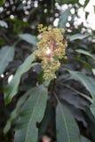 Цветки манго стоковое изображение