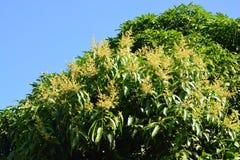 Цветки манго Стоковые Фото