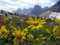 Цветки, маргаритка в высокогорном луге горы Стоковые Фото