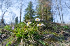цветки маргаритки в зеленой траве стоковые изображения rf