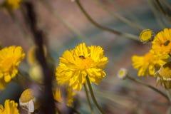Цветки маргаритки желтого цвета Pollenating пчелы Стоковые Фото