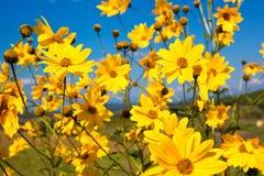 Цветки маргаритки желтые стоковые фото
