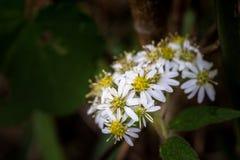 Цветки маргаритки зацветая весной стоковые фотографии rf