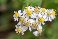 Цветки маргаритки зацветая весной стоковая фотография