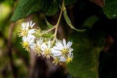 Цветки маргаритки зацветая весной стоковые изображения