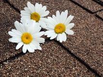 Цветки маргаритки на гонт асфальта Стоковые Изображения