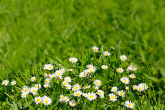 Цветки маргаритки на предпосылке зеленого цвета поля травы Стоковые Изображения RF