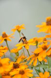 Цветки маргаритки поля Стоковое Изображение