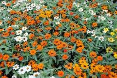 цветки маргаритки предпосылки цветастые Стоковые Фотографии RF
